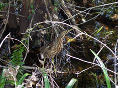 American Bittern studying the feeding opportunities of the Swamp. www.garygreenfield.com