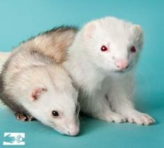 Ferrets are mellow, curious, and very sweet - especially these two!