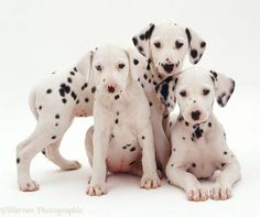 I'm seeing spots. #barkyeah Cute Puppies, Dalmatian Puppies, Cute Dogs, Dogs And Puppies, Doggies, Big Dogs, Large Dogs, Pet Puppy, Dog Cat