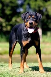 ZENA is an adoptable Rottweiler Dog in Slaughters, KY. Zena�is a 2 yr old purebred Rottweiler and weighs approx 65 lbs. She was found as a stray. She�has an absolutey�WONDERFUL temperment and�is great...