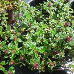 Creeping Thyme.  Lovely name and quality