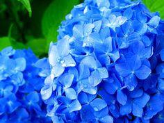 http://kobe.travel.coocan.jp/photo/kitaharima/flowercenter/ajisai/hana_005.jpgからの画像