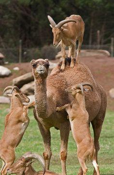 22 fotos surpreendentes que nos mostram que as cabras conseguem subir qualquer coisa Farm Animals, Funny Animals, Cute Animals, Wild Animals, Beautiful Creatures, Animals Beautiful, Humor Animal, Camelus, Unlikely Friends