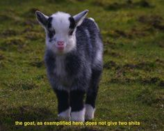 the goat, as exemplified here...
