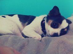 Sleepy little cute chihuahua. You're soo cute Skyla!