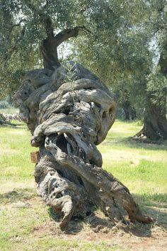 """The so called """"Grande Vecchio"""" at Masseria Brancati, an amazing millenary olive tree with a magnificent twisted trunk. Ostuni, Puglia, Italy. Photo: © Michele Miccoli"""