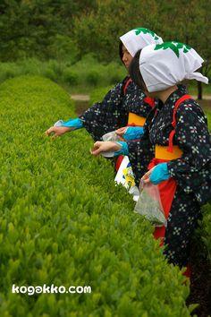 ふるさと古河新茶祭り5/11 | kogakko.com
