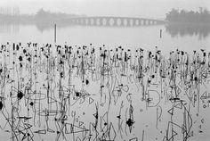 Rene Burri Dead Lotus Flowers on Kunming Lake Near the Former Imperial Summer Palace, Beijing 1964
