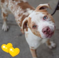 RETURN 09/18/16 STRAY --- SAFE 12-9-2015 --- Brooklyn Center GINO aka ANCHOVIE – A1059609 MALE, WHITE / BROWN, CATAHOULA MIX, 1 yr STRAY – STRAY WAIT, NO HOLD Reason ABANDON Intake condition EXAM REQ Intake Date 12/04/2015 http://nycdogs.urgentpodr.org/anchovie-a1059609/