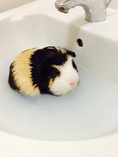 Bruno the swimming Guinea Pig. Read more: http://www.newsshopper.co.uk/leisure/petoftheday/11453547.Pet_of_the_Day__Bruno_the_swimming_guinea_pig/