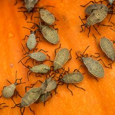 get rid of squash bugs-lay boards on the soil at night; the squash bugs will tend to congregate beneath them, and you can destroy the pests the next morning. Planting radishes, nasturtiums, or marigolds among your squash plants may help repel squash bugs Garden Bugs, Garden Pests, Lawn And Garden, Garden Rake, Garden Edging, Garden Sheds, Farm Gardens, Outdoor Gardens, Organic Gardening