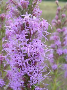 FALL FLOWERS: Blazing Star is blooming at Guadalupe River State Park near San Antonio. This Hill Country flower is a very attractive to nectar-seeking butterflies. #Fall4Tx