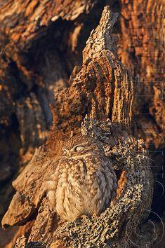 20 Amazing Examples of Owl Camouflage | Bored Panda