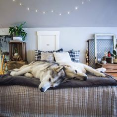 Loki, Husky Husky, Types Of Dogs, Alaskan Malamute, Sled, Dog Training, Puppies, Wolfdog, Afin