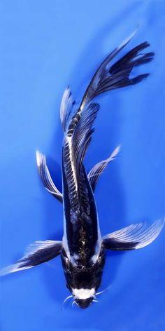 Kikokuryu Butterfly Koi
