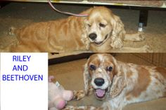Riley was born 11/2007, red & white parti colored male, loves people and other dogs. Playful and enjoys toys. Beethoven was born in 2008 and loves to sniff. They are a bonded pair and must go together