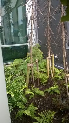 Ferns and lancewood at Victoria University