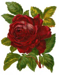 Red Rose - Flowers cross stitch pattern designed by Tereena Clarke. Decoupage Vintage, Vintage Ephemera, Cross Stitch Rose, Cross Stitch Flowers, Victorian Flowers, Vintage Flowers, Floral Illustrations, Botanical Illustration, Rose Illustration