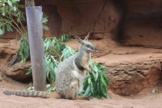 Yellow-footed Rock Wallaby, Wild Life Sydney Zoo, Darling Harbour, Sydney