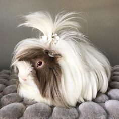 caring for a long haired, peruvian guinea pig..