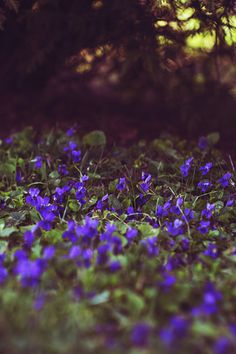 violets by *Nishe, via Flickr