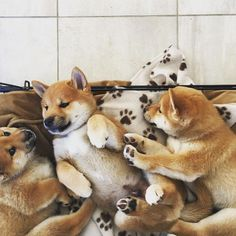 These adorable Shiba Inu puppies know the importance of family. Akita Puppies, Baby Puppies, Cute Puppies, Dogs And Puppies, Japanese Dog Breeds, Japanese Dogs, Really Cute Dogs, I Love Dogs, Animals And Pets