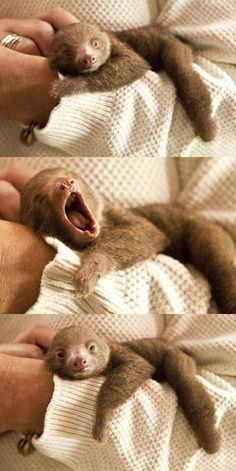 Baby sloth!  Baby sloth yawning... can I hug it?  Please?  I'll give it back, I promise.