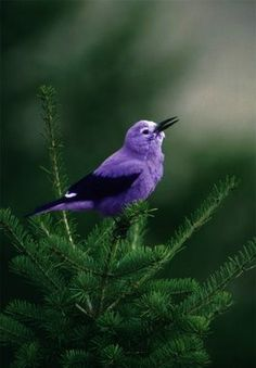 purple bird! Where does this exist?!?!