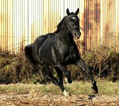 Horses for sale - Orlov Trotter Horse Russia Driving For sale Orlovchik-krasavchik