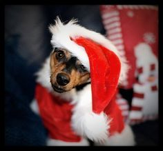 Christmas photo album of pets Dog Christmas Pictures, Christmas Images, Christmas Dog, All Things Christmas, Merry Christmas, Xmas, Worlds Cutest Animals, Animals And Pets, Cute Animals