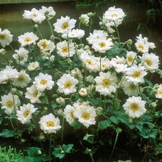 Buy Anemone Whirlwind Perennials Online. Garden Crossings Online Garden Center offers a large selection of Anemone Plants. Shop our Online Perennial catalog today.