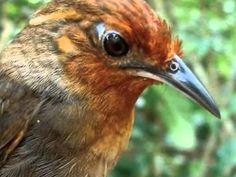 Aves do Brasil   Uirapuru O canto mais lindo do Brasil