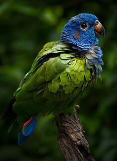 The Blue-headed Parrot, also known as the Blue-headed Pionus (Pionus menstruus) . It is a resident bird in tropical and subtropical South America and southern Central America, from Costa Rica, Venezuela and Trinidad south to Bolivia and Brazil.