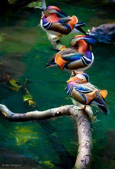 Just 3 ducks in a row / animaux / oiseau / canard mandarin Canard Mandarin, Mandarin Duck, Pretty Birds, Beautiful Birds, Animals Beautiful, Amazing Animals, Pretty Flowers, Beautiful Things, Nature Animals