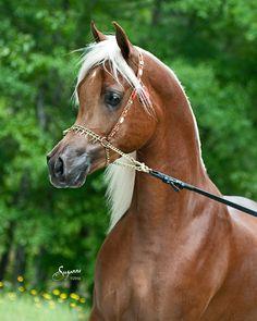 Talaria Farms - Golden chestnut Arabian Horse with flaxen mane