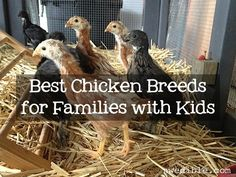 mixed flock that is great with kids. flock currently consists of Barred Rock, Buff Orpington, Austrawhite, Easter Egger, Black Sex Link and Red Sex Link hens.