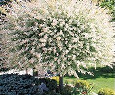 Dwarf White Willow tree on side of bay window