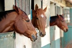 Help! My Horse Keeps Tossing His Head at Mealtime! - TheHorse.com | A veterinarian and equine behavior expert addresses a possible learned head tossing behavior at feeding time. #horses #horsebehavior #feedinghorses