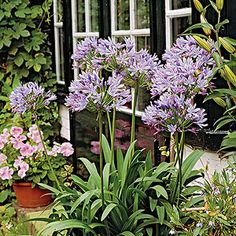 African Lily (Agapanthus africanus) grows strappy green leaves and stately stalks with clusters of blue or white flowers rising up to 3 feet tall. Plant it from October to February, placing the tip of the rhizome just below the surface in full sun to partial shade. Keep it evenly moist during the growing season.