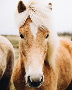 "hemingwayandhepburn: "" All these pretty Icelandic horses (at Vík) """