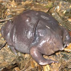 Coffee may be the death of these ancient amphibians, which likely evolved about 130 million years ago. Discovered in 2003, the Nasikabatrachus sahyadrensis a.k.a. the purple burrowing frog, lives in a small mountainous area of Southern India, where coffee, cinnamon and other crops have encroached much of the endangered frog's traditional habitat.