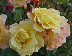 Palatine Roses Sheila's Perfume | Rugelda ™ , Hybrid Rugosa, Shrub rose