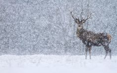 Telegraph reader James Shooter writes: 'Spent the morning with eight red deer stags in heavy snow this morning.  Stunning wildlife and stunning scenery at Chatsworth, Peak District National Park.'...From...  http://www.telegraph.co.uk/gardening/gardeningpicturegalleries/9800415/UK-weather-in-pictures-snow-blankets-parts-of-the-country.html?frame=2451171#