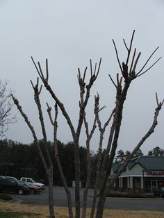Don't Commit Crape Murder!  It's not necessary to prune Crapemyrtles in order to make them bloom.  They bloom off the new growth, anyway, and continual pruning just makes them weaker at these pruned joints.  The proper way is to thin out the branches.  via @Jeff Minnich's blog