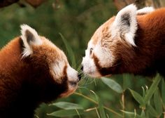 Philadelphia Zoo | Cute Alert: New Red Panda Couple @ Philadelphia Zoo