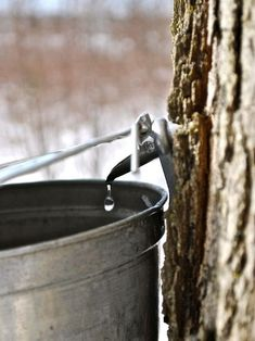 Tapping a Maple tree to make syrup Country Life, Country Living, Country Charm, Maple Syrup Taps, Tapping Maple Trees, March Month, February, In Memory Of Dad, Sugaring