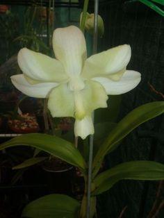 Dendrobium 'Liberty White' by shmessa