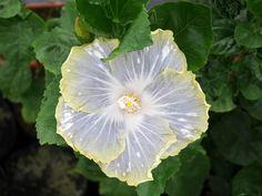 www.Klong15.com   Fancy Hibiscus 'CCH Silver Sky' Thailand ชบาแฟนซี 'ซีซีเอ็ช ซิลเวอร์ สกาย' ชบาไทย