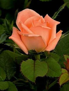If you are thinking of rose gardening don't let this rumor stop you. While rose gardening can prove to be challenging, once you get the hang of it, it really isn't that bad. Beautiful Rose Flowers, Amazing Flowers, Pretty Flowers, Beautiful Gardens, Orange Roses, Pink Roses, Bouquet, Rosa Rose, Lavender Roses