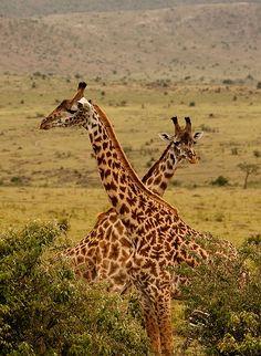 Kenya Masai Mara Girafes Crossing